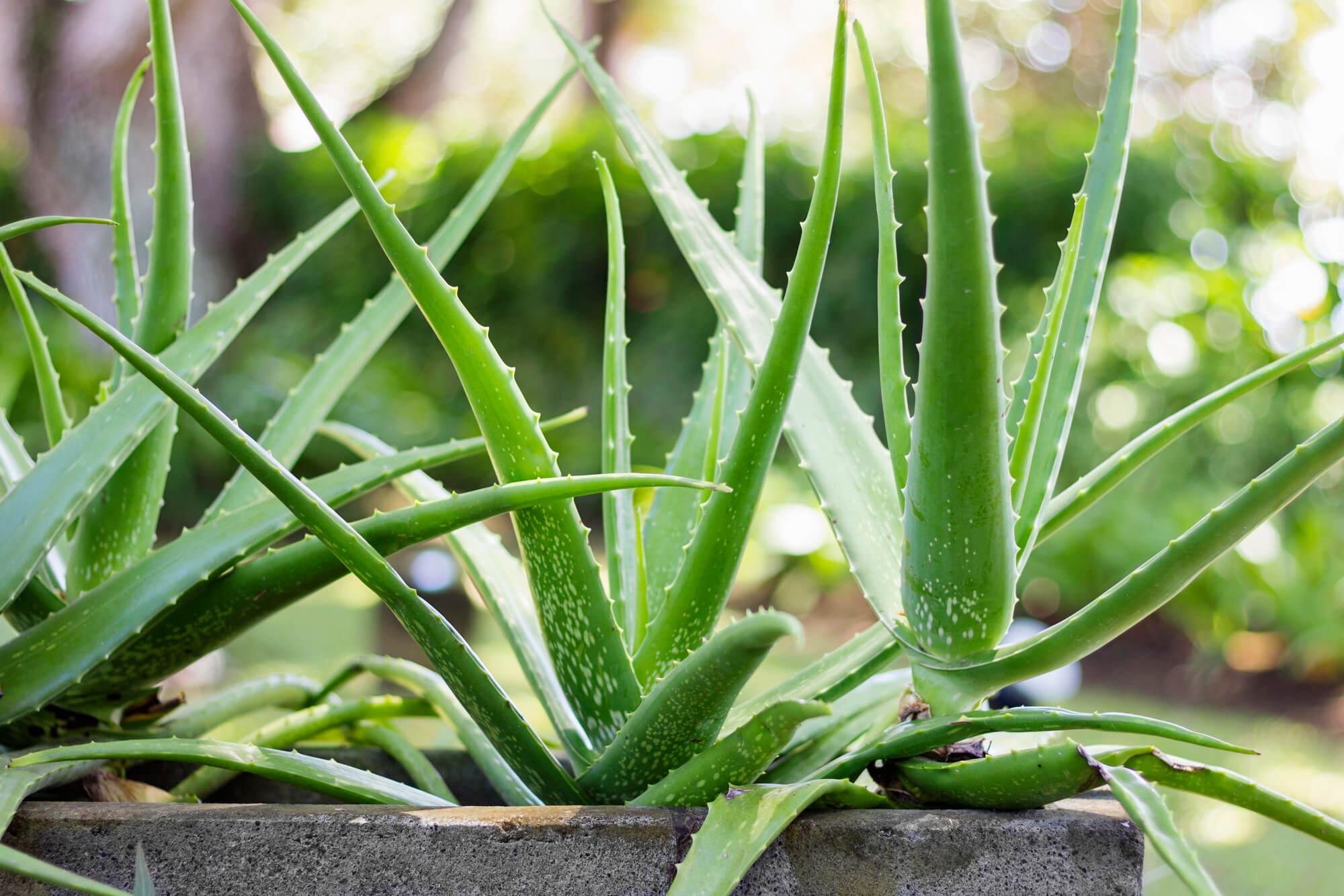 Szobanövény, Aloevera